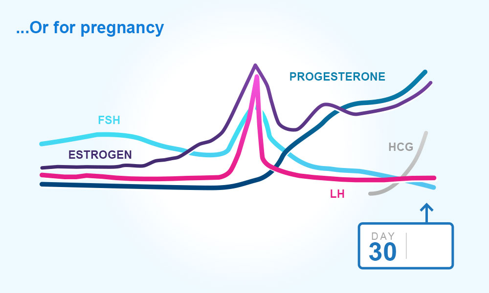 Menstrual cycle : Day 30 - pregnancy